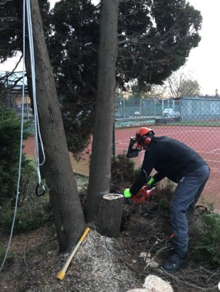 Foto: Marco Geiger beim fachgerechten Fällen auf der Tennisanlage